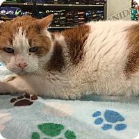 Adopt A Pet :: Luciano (declawed) $99 Senior - Warren, MI