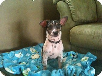 Jack Russell Terrier Puppy for adoption in York, South Carolina - Tripp