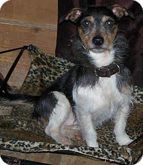 Jack Russell Terrier Mix Dog for adoption in Sherman, Connecticut - JR Betty's Dog