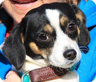 Susie Adopted Dog Minnetonka Mn Chihuahua Beagle Mix