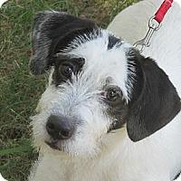 Adopt A Pet :: Meeko - Brattleboro, VT