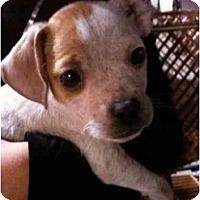 Adopt A Pet :: Darla - Arlington, TX