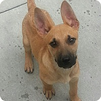 Adopt A Pet :: Ringo - Chicago, IL