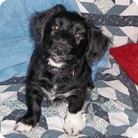 Adopt A Pet :: Muffin - Virginia Beach, VA
