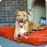 American Staffordshire Terrier/Labrador Retriever Mix Dog for adoption in Los Angeles, California - Adorable Bosco-VIDEO