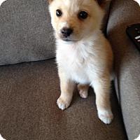 Adopt A Pet :: Nanuk - Saskatoon, SK