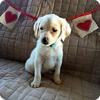 Adopt A Pet :: Liam - St. Louis, MO