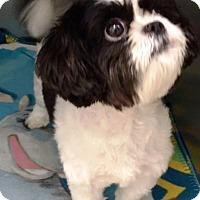 Adopt A Pet :: I'M ADOPTED Oreo Cookie Hubbar - Oswego, IL