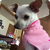 Chihuahua Dog for adoption in McKenna, Washington - Petunia