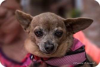 Chihuahua Dog for adoption in San Marcos, California - Ruby