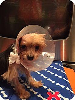 Yorkie, Yorkshire Terrier Dog for adoption in N. Babylon, New York - Puffin