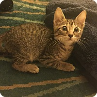 American Shorthair Kitten for adoption in Miami, Florida - Lily