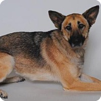 German Shepherd Dog Dog for adoption in Seattle, Washington - Buttercup