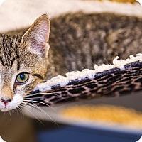 Adopt A Pet :: A..  Furrari - Mooresville, NC