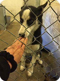 Husky Dog for adoption in Ponca City, Oklahoma - Nadia