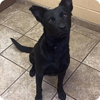 Shepherd (Unknown Type) Mix Dog for adoption in Joplin, Missouri - Margo 110968