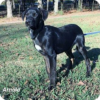 Labrador Retriever Mix Puppy for adoption in Manchester, Connecticut - Arnold-pending adoption
