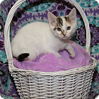 Calico Kitten for adoption in Marietta, Ohio - Tabitha