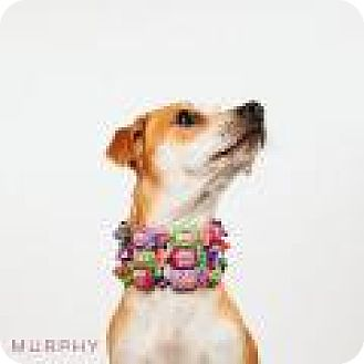 Dachshund/Chihuahua Mix Dog for adoption in Tomball, Texas - Murphy