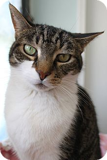 Domestic Shorthair Cat for adoption in Chicago, Illinois - Laire