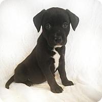 Adopt A Pet :: polka dot - sylmar, CA