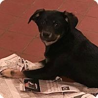 Adopt A Pet :: Jade - Trenton, NJ