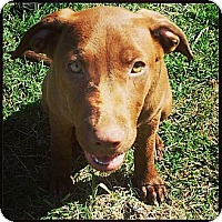Adopt A Pet :: Penny - Pflugerville, TX