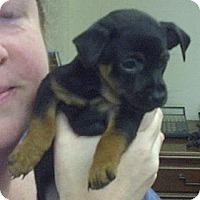 Adopt A Pet :: CHI/MIN PIN pups - Garwood, NJ
