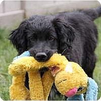 Adopt A Pet :: Doyle - Denver, CO