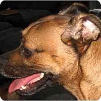 Adopt A Pet :: Sassy-NJ - Mays Landing, NJ