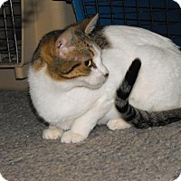 Adopt A Pet :: Cupcake *REDUCED ADOPTION FEE FIV POSTIVE KITTY* - Kyle, SD