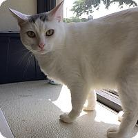 Domestic Shorthair Cat for adoption in Schertz, Texas - Romeo HL