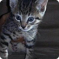 Domestic Shorthair Kitten for adoption in Smyrna, Georgia - Chip