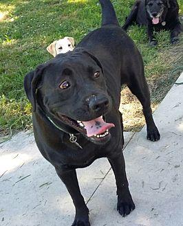 American Bulldog/Labrador Retriever Mix Dog for adoption in Columbus, Indiana - Zoey