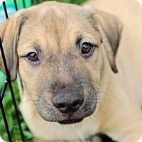 Adopt A Pet :: Shindy Pup - Wagon - San Diego, CA