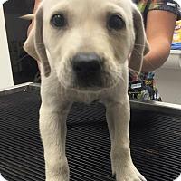 Adopt A Pet :: Luna-Harry Potter Pup - Cumming, GA