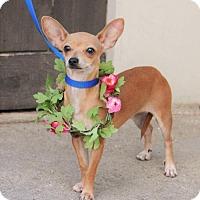 Adopt A Pet :: LILLY - McKinney, TX