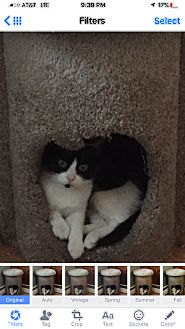 Domestic Shorthair Cat for adoption in Maybrook, New York - BISCUIT