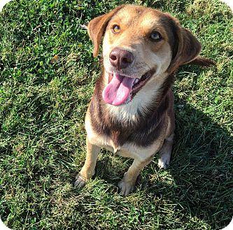 Australian Shepherd/Beagle Mix Dog for adoption in Russellville, Kentucky - Shiloh