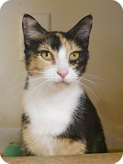 Domestic Shorthair Cat for adoption in Nashville, Tennessee - Sadie (cat)