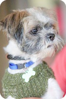 Lhasa Apso/Shih Tzu Mix Dog for adoption in Plano, Texas - Dwight