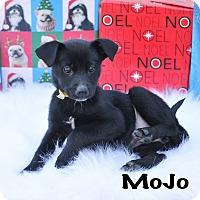 Adopt A Pet :: MoJo - Colmar, PA