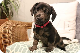 Dachshund/English Bulldog Mix Puppy for adoption in Allentown, Virginia - Daisy Dukes
