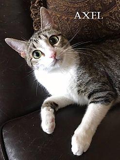 Domestic Shorthair Cat for adoption in Baton Rouge, Louisiana - Axel