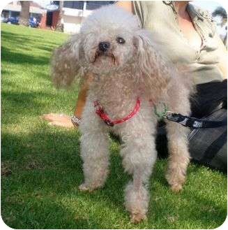 Poodle (Toy or Tea Cup) Dog for adoption in Long Beach, California - Pirate
