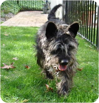 Schnauzer And Scottish Terrier Obo | Adopted D...