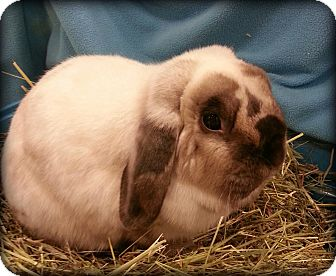 Lop, Holland Mix for adoption in Williston, Florida - PepperJack
