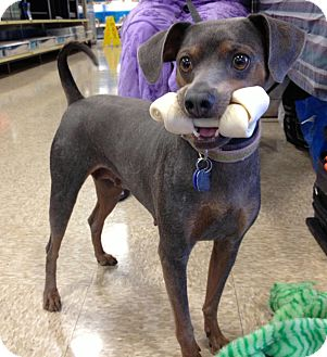 Miniature Pinscher Mix Dog for adoption in Phoenix, Arizona - Bonnie