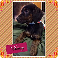 Adopt A Pet :: Whitney in cT - East Hartford, CT