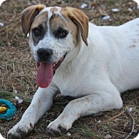 Beagle/Jack Russell Terrier Mix Dog for adoption in New Boston, New Hampshire - BUZZ